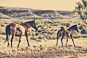 Wild Horses Framed Prints - Brumby with Foal Framed Print by Douglas Barnard