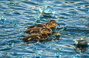 Baby Mallards Posters - Bubble Bath Poster by Skye Ryan-Evans