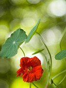 Bubbly Framed Prints - Bubbly Nasturtium 2 Framed Print by Dorothy Lee