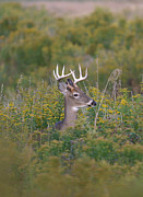 Whitetailed Deer Posters - Buck Poster by Monte Loomis