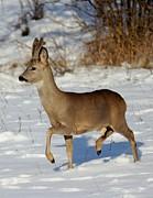 Buck Roe Deer  Print by Dragomir Felix-bogdan