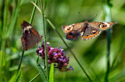 Karen Adams Metal Prints - Buckeye Butterflies Metal Print by Karen Adams