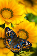 Golden Flowers Metal Prints - Buckeye Butterfly in all its Beauty  Metal Print by Saija  Lehtonen