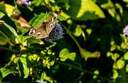 Mick Anderson - Buckeye Butterfly