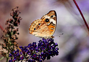 Karen Adams - Buckeye Butterfly on...
