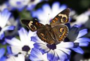 Saija  Lehtonen - Buckeye Butterfly on Purple Daisy