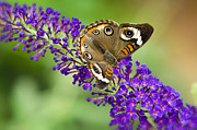 Buckeye Framed Prints - Buckeye Butterfly on Purple Flowers Framed Print by Saija  Lehtonen