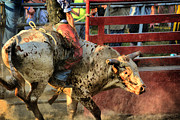 Rodeos Photo Posters - Bucking Bull Poster by Emily Stauring