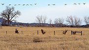 Mule Deer Buck Photograph Photos - Bucks and Geese by Jim Garrison