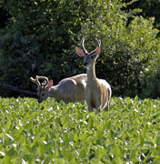 Kathy DesJardins - Bucks in a field of soy...