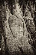 Ayuthaya Prints - Buddha Head in Tree Print by Fototrav Print