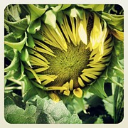 Colleen Drew - Budding Sunflower