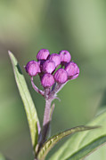 Buds Of The Milkweed Print by Kathryn Whitaker