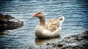 Mother Goose Photo Posters - Buff Colored Toulouse Goose Poster by Susan Garren
