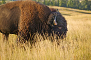 Bison Photos - Buff by Rich Franco