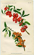 Buffalo Berry Print by  Department of Agriculture