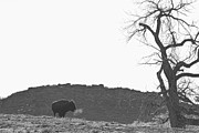 Wildlife And Nature Photos Art - Buffalo Breath BW by James Bo Insogna