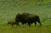 Bison Photos - Buffalo Calf And Mother by Jeff  Swan