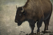 Mammal Framed Prints - Buffalo Framed Print by Juli Scalzi