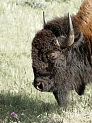 Bison Art - Buffalo by Ernie Echols