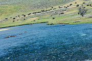 Randall Branham - Buffalo fording the Yellowstone