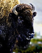 Bison Mixed Media Prints - Buffalo in Yellowstone National Park Print by Nadine and Bob Johnston