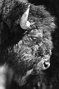 Bison Prints - Buffalo Portrait Print by Robert Frederick