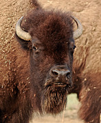 Buffalo Print by Robert Frederick