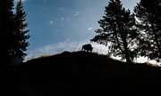 Ungulates Posters - Buffalo Silhouette Poster by Robert Bales