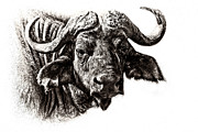 Cape Buffalo Prints - Buffalo Sketch Print by Mike Gaudaur