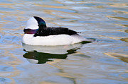 James Lewis Prints - Bufflehead Drake  Print by James Lewis