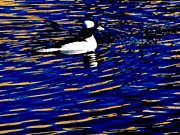Photogrpah Posters - Bufflehead on Blue Poster by Steven Parker