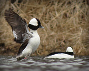 Ducks Pastels - Bufflehead Standing on Water by Marcus Moller