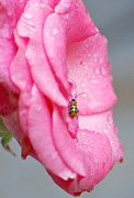Jennifer Kelly - Bug On A Rose