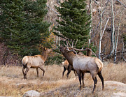Rocky Mountain National Park Posters Posters - Bugling Bull Elk and Cows  Poster by James Futterer