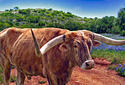 Longhorn Photos - Bull and Bluebonnets by David and Carol Kelly