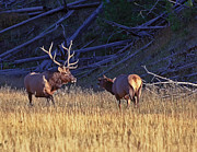 Bruce J Barker - Bull and Cow Elk