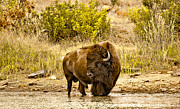 Bison Prints - Bull Bison At Creekside Print by Robert Frederick