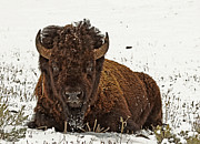 Horns Framed Prints Posters Prints - Bull Bison lying in Snow  Print by James Futterer