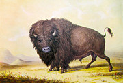 Bull Buffalo Print by George Catlin