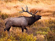 Elk Wildlife Framed Prints - Bull Elk Framed Print by Bryce Bradford