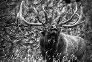 Elk Antlers Prints - Bull Elk Bugling Black and White Print by Ron White