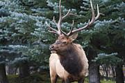 Darrell E Spangler - Bull Elk by Blue Spruce