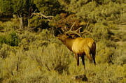 Bulls Metal Prints - Bull Elk Calling Out Metal Print by Jeff  Swan
