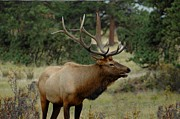 Colorado Greeting Cards Prints - Bull Elk Print by Danny Key