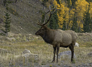 Tom Wilbert - Bull Elk in Hidden Valley