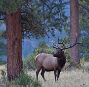 Bull Elk Posters - Bull Elk in Rocky Mountain National Park Poster by Natural Focal Point Photography