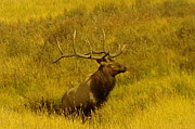 Elk Wildlife Prints - Bull Elk In Rut Print by Jeff  Swan