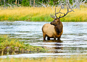 National Park Photography Framed Prints - Bull Elk in the Madison Framed Print by Greg Norrell