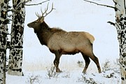Elk Photos - Bull Elk in the Snow by Marilyn Burton